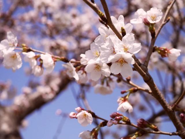 桜-花まつり.jpg